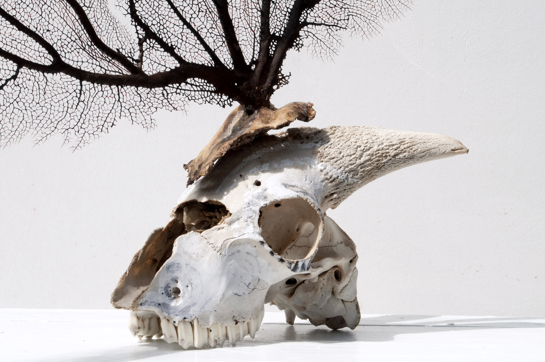 Terrae Incognita 2010 65 x 68 x 20 cm / 25.6 x 26.8 x 7.9 inches Mixed Media / goat Skull